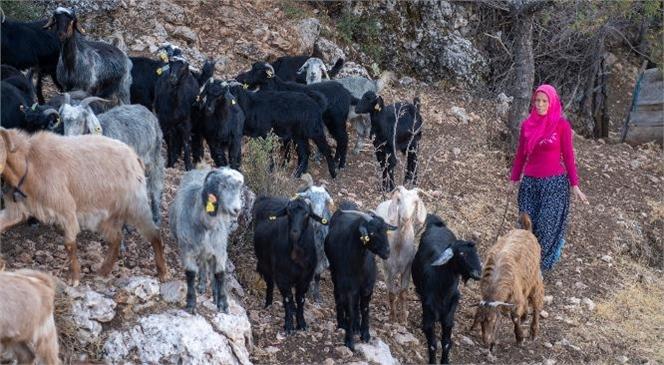 Mersin Büyükşehir'in Küçükbaş Hayvan Dağıtım Projesi İle Kadınlar da Aileler de Kazanıyor