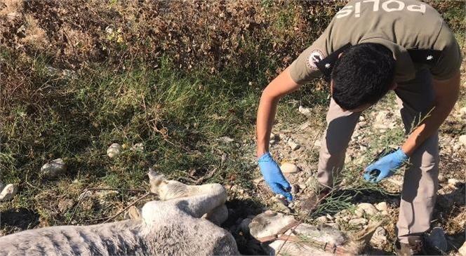 Mersin'de Açlıktan Kaburgaları Çıkan Beyaz At, Bakımla Hızla Kilo Aldı
