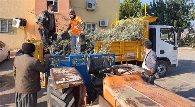 Büyükşehir'den Tarsuslu Üreticilere Bölgeye Has Sarıulak Zeytin Fidanı