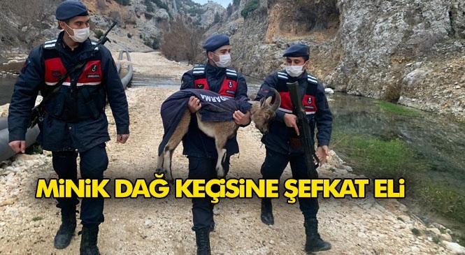 Mersin'in Silifke İlçesindeki Arazide Rastlanan Yaralı Yavru Yaban Keçisi Jandarmanın Şefkat Kucağında Böyle Taşındı