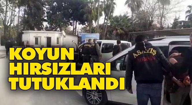Mersin Toroslar Çopurlu'daki Çiftlikten Gece Yarısı Çalınan Koyunların İzi Sürüldü: Koyunlar Bulundu Hırsızlar Tutuklandı