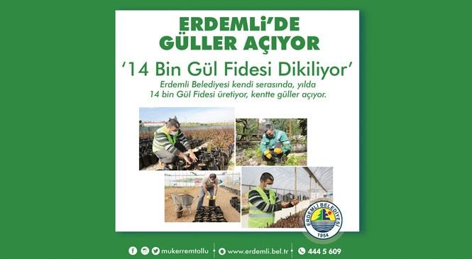 """""""14 Bin Gül Fidesi Dikiliyor, Erdemli' de Güller Açıyor"""""""