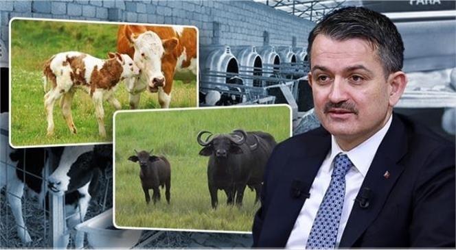 Bakan Pakdemirli, 1 Milyar 468 Milyon 535 Bin 735 Liralık Hayvancılık Desteğini, Bugün Saat 17.00 İtibariyle Hesaplara Aktarmaya Başlayacaklarını Açıkladı