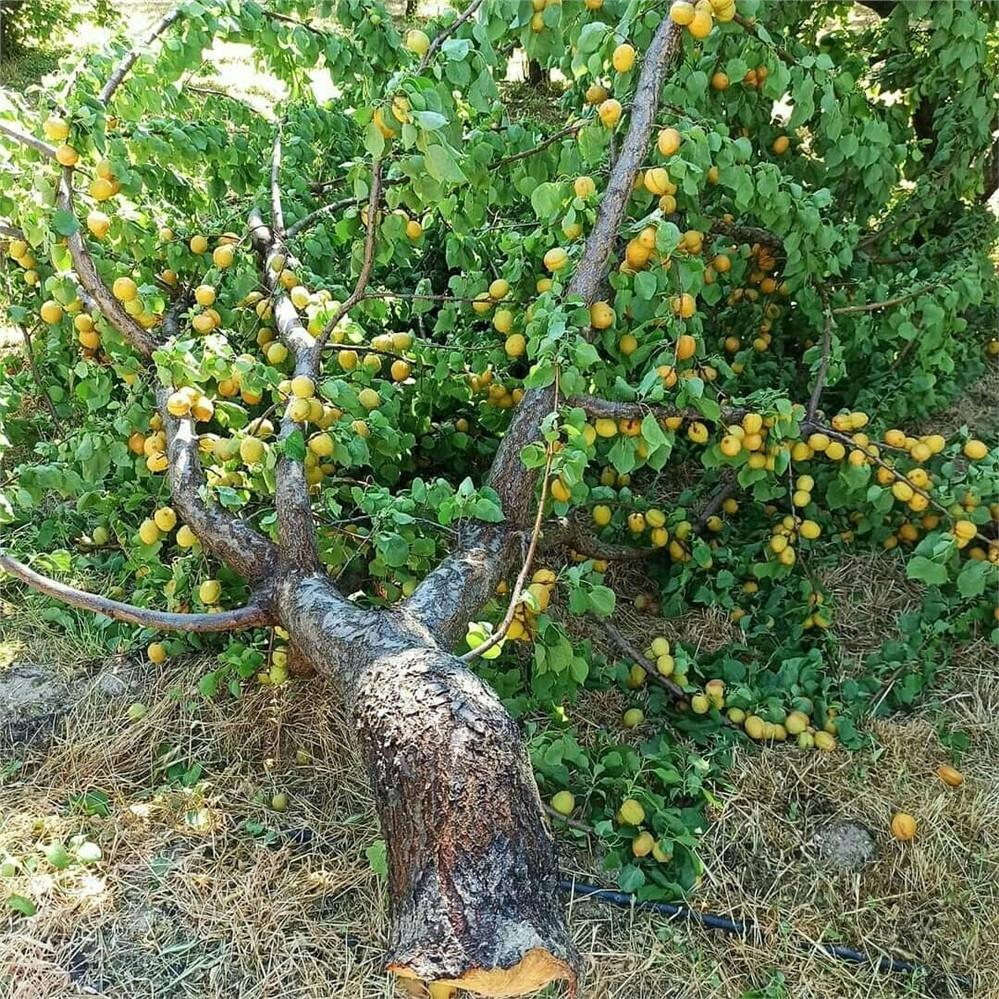 Mersin'in Mut İlçesine Bağlı Birçok Bölgede Etkili Olan Dolu Yağışı Meyve Ağaçlarına Zarar Verdi
