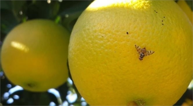 13-17 Mayıs Tarihleri Arasında Akdeniz Meyve Sineği İle İlgili Toplu Mücadele Kararı Alındı