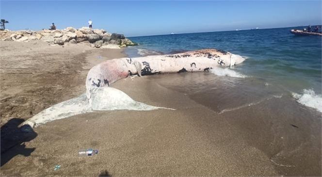 Mersin Sahiline Vuran Ölü Beyaz Balina Görenleri Şaşkına Çevirdi