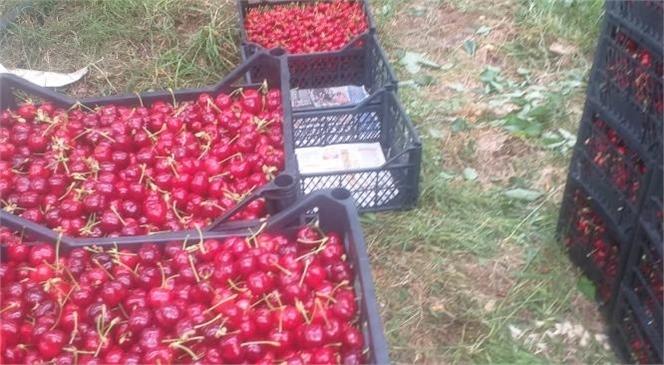 Mersin Erdemli'de Çiftçiler Kiraz Hasadına Başladı
