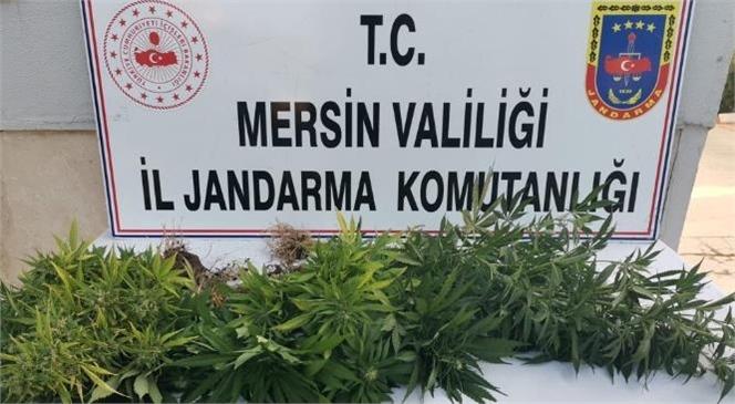 Mersin'de Jandarma Ekiplerinden Yasadışı Kenevir Ekimi Operasyonu, Gözaltına Alınanlar Var