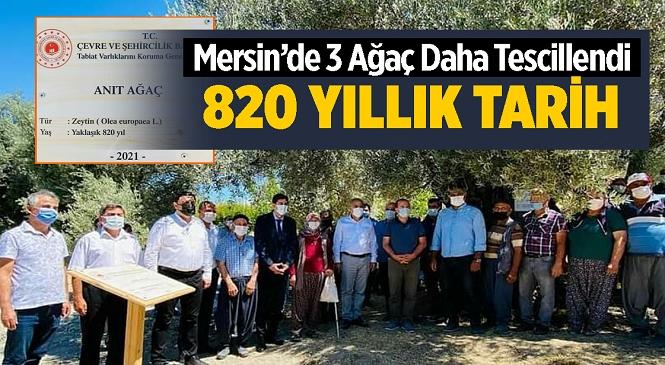 Mersin'in Mut İlçesinde 3 Zeytin Ağacı Daha Anıt Ağaç Olarak Tescillendi! Ağaçların En Küçüğü 435 Yaşında