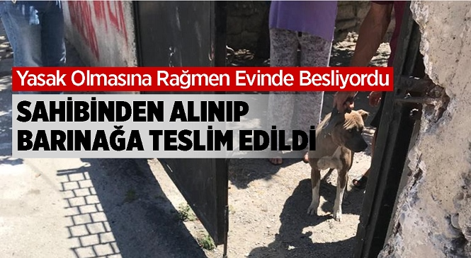 Mersin'in Tarsus İlçesinde Beslenen Pitbull Cinsi Köpek Yetkililerce Sahibinden Alınarak Barınağa Teslim Edildi