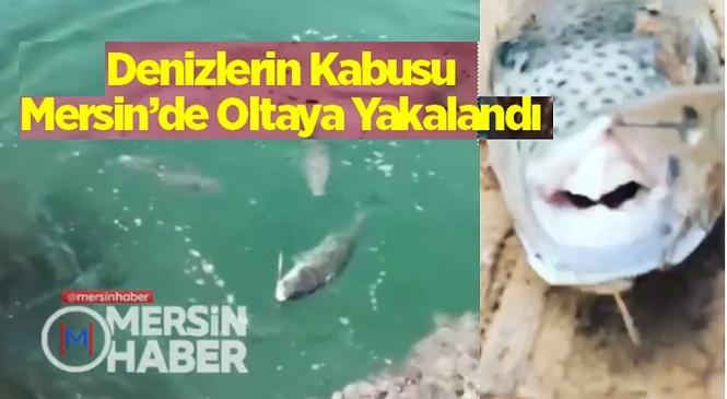 Mersin Kıyılarında Balon Balığı Tehlikesi Büyüyor! Oltaya Yakalanan Balon Balığının Etrafını Bir Anda 5 Balon Balığı Sardı
