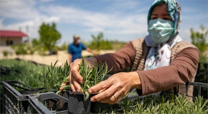 Mersin'de Kıraç Topraklar Lavanta Fideleriyle Renklenecek! Büyükşehir, 250 Bin Lavanta Fidesini 120 Üretici İle Buluşturdu