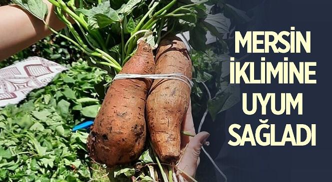 Mersin'in Mezitli İlçesinde Ekimi Yapılan Tatlı Patates Yerini Sevdi! Üretim Aşamaları Tarım Müdürlükleri Tarafından Kontrol Ediliyor