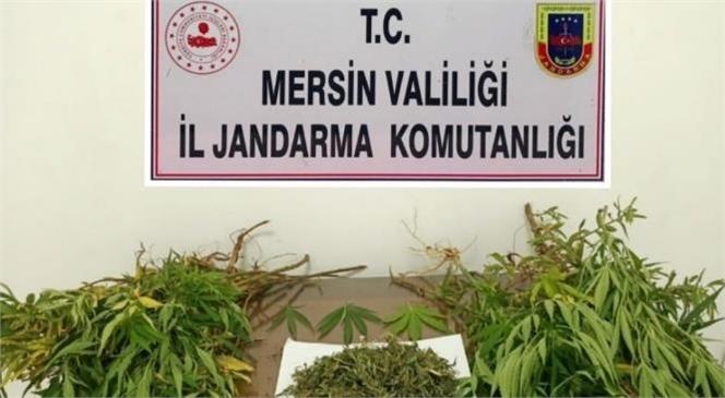 Mersin'de Jandarma Ekipleri, 2 Ayrı Adrese Yasa Dışı Kenevir Operasyonu Düzenledi.