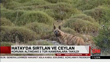 Nesli Tehlike Altında Olan Çizgili Sırtlan ve Dağ Ceylanı Hatay'da Görüntülendi...