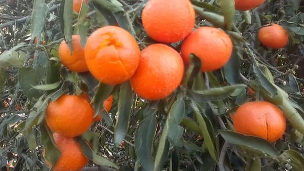 Tarsus'ta ceviz büyüklüğünde yağan dolu çiftçiyi olumsuz etkiledi