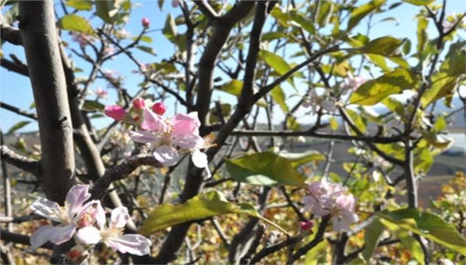 Mersin Tarsus'ta Elma Ağaçları Çiçek Açtı