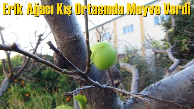 Erik Ağacı Kış Ortasında Meyve Verdi