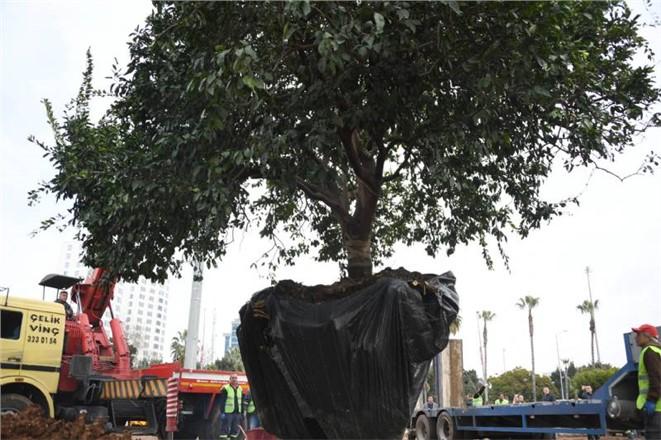 Yabancıları Karşılayacak Turunçgil Bahçesinin İlk Anıt Ağacı 80 Yaşında