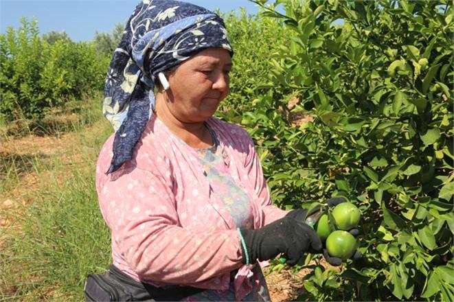 Dalından Toplanıyor Kilosu 1.60 Lira, Erdemli'de Yılın İlk Limon Hasadı Yapıldı