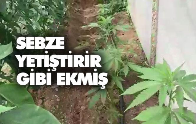 Mersin Akdeniz Anadolu Mahallesinde Sebze Yetiştirir Gibi Seraya Hint Keneviri Ekilmiş