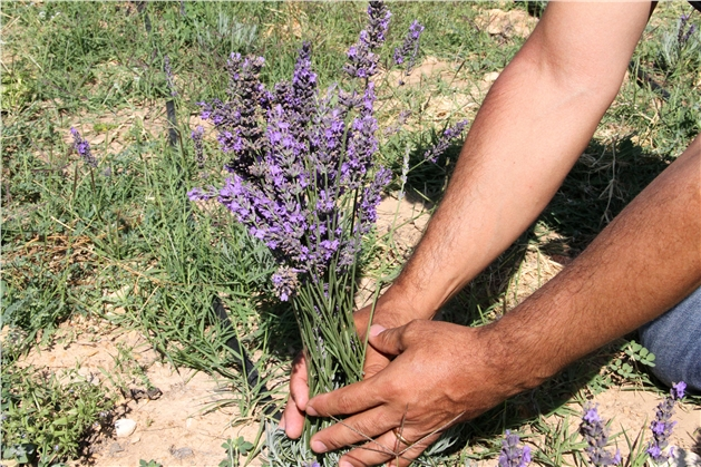 Lavanta Çiçeği Hasadıyla Tarımsal Üretim Zenginleşti