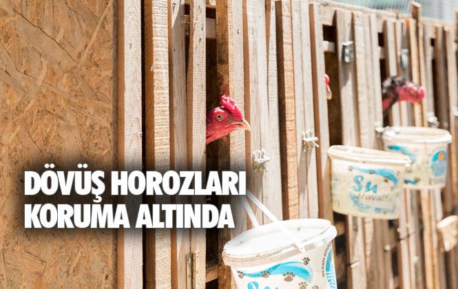 Mersin'de Horoz Dövüşü Yaptıranların Elindeki, Dövüş Horozları Koruma Altına Alındı