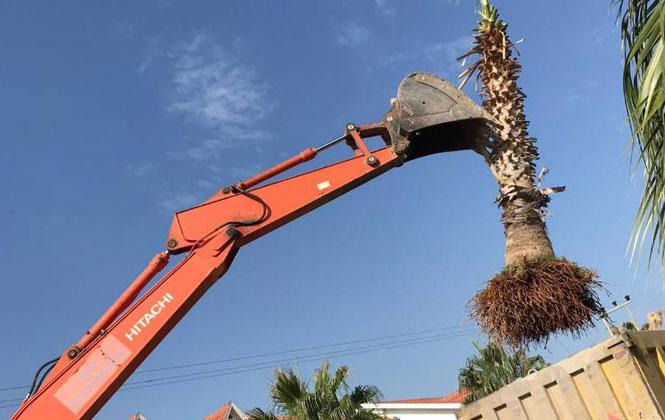 Mersin Silifke'de Yangında Zarar Gören Palmiyeler, Taşınarak Bakıma Alındı
