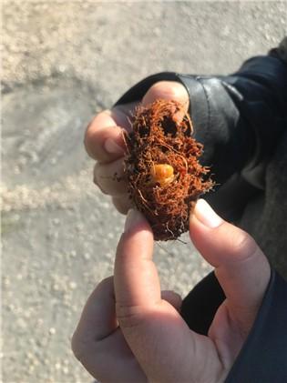 Kırmızı Palmiye Böceği İle Mücadele Çalışmaları Sürüyor