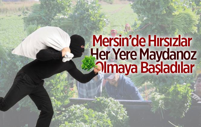 Mersin Tarsus'ta 70 Kasa Maydanoz Çalındı