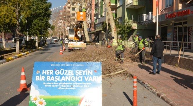 Mersin'de Zararlılar Tarafından İçi Kurutulan Ağaçlar, Önlem Amaçlı Olarak Kesiliyor