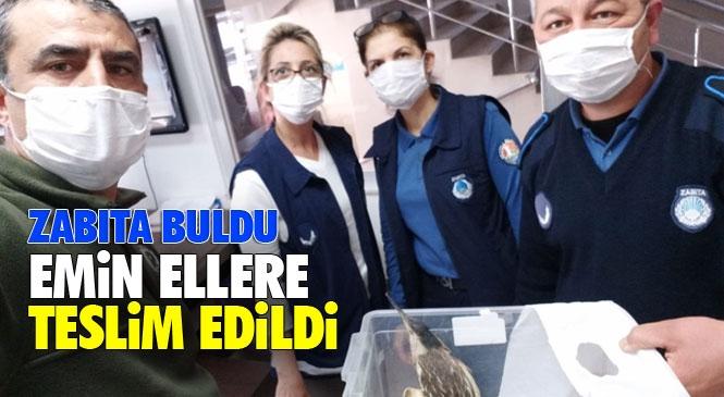 Mersin Mezitli'de Zabıta Ekipleri Yaralı Balabanı Kurtardı