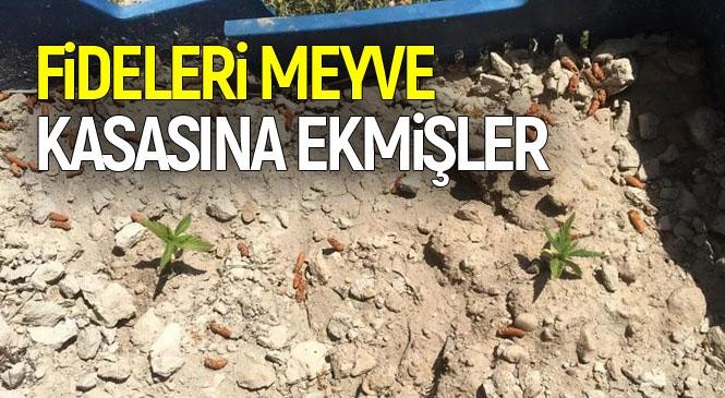 Jandarma, Mersin Mut İlçesi Haydarköy'de Yasa Dışı Ekilmiş Kenevir Fidesi Yakaladı