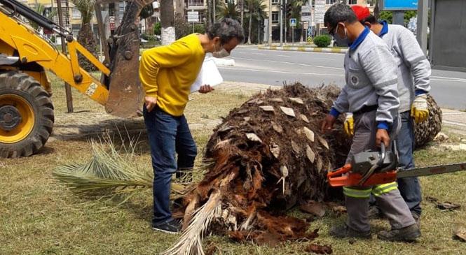 Büyükşehir, Yenişehir'deki Palmiye Kırmızı Böceği Tespit Edilen Ağaçları İmha Etti