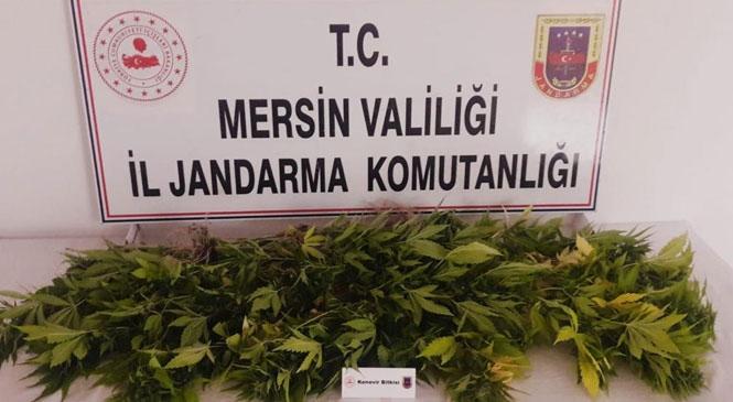 Mersin Tarsus'ta Yasa Dışı Ekilmiş Kenevir Bitkisi Yakalandı