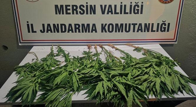 Mersin Bozyazı Gözsüzce Mahallesinde Tavuk Kümesinin Etrafına Ekilmiş Yasadışı Kenevir Bitkisi Ele Geçirildi