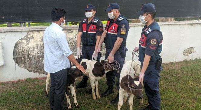 Mersin Tarsus'ta Hırsızların Çaldığı 3 Buzağı Jandarma Ekiplerince Sahibine Teslim Edildi