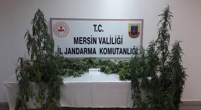 Jandarma Ekipleri Tarsus'ta Yasadışı Ekilmiş Hint Keneviri Bitkisi Ele Geçirdi
