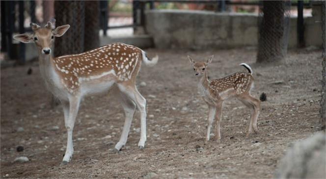 Geyik ve Ceylanlar Yeni Doğumlarla Çoğaldı! Tarsus Doğa Parkı'nın Doğum Sezonu Ceylan ve Geyik Yavruları İle Sona Erdi