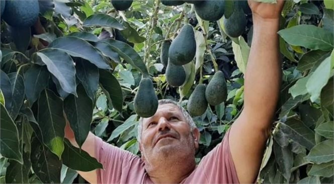 """""""Avokado Mersin'de Yükselen Trend Oluyor"""""""