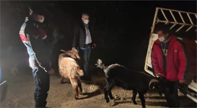 Mersin Anamur'da Bulundukları Ahırdan Çıkıp Kaybolan Keçiler Jandarma Tarafından Ormanlık Alanda Bulundu