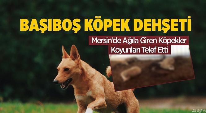 Mersin'in Anamur İlçesi İskele Mahallesinde Ağıla Giren Köpekler 3 Koyun ve 1 Kuzuyu Telef Etti