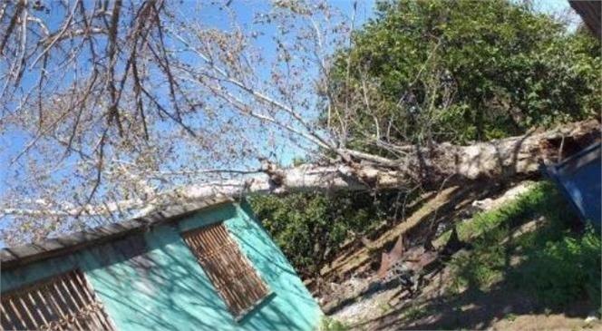 Şiddetli Rüzgara Dayanamayan Çınar Ağacı Devrildi