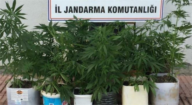 Anamur'da Jandarma Tarafından Bağ Evinde Yapılan Aramada Çok Sayıda Kenevir Bitkisi Ele Geçirildi.