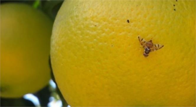 Akdeniz Meyve Sineği İle Toplu Mücadeleye Davet
