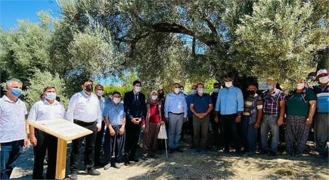 Mersin Mut'ta 820-650-435 Yaşlarında Zeytin Ağaçları Anıt Ağaç Olarak Tescillendi.