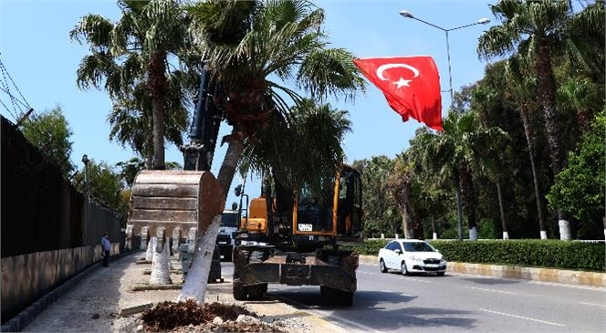 Palmiye Ağaçları Yeni Yerlerine Dikiliyor