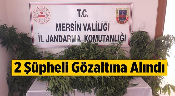 Mersin'in Tarsus İlçesinde Jandarma Ekiplerinin Yaptığı 2 Ayrı Operasyonda 69 Kök Kenevir Ele Geçirildi