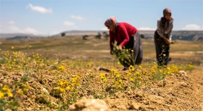 Büyükşehir'le Kıraç Topraklar Sarı Kantaron Çiçekleriyle Bezendi