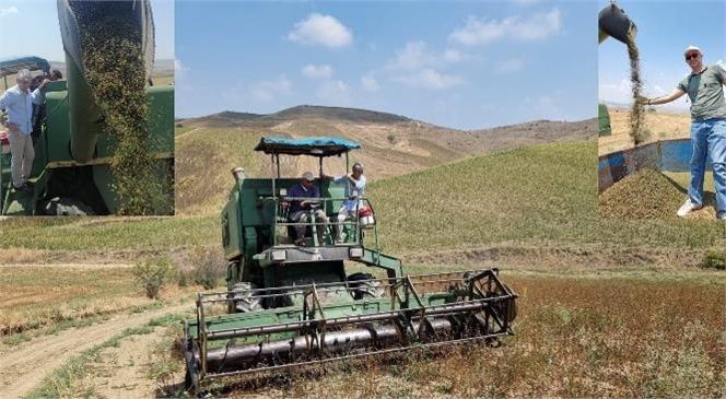İncirgediği Mahallesinde Ekimi Yapılan Karabuğday Bitkisi Hasat Edildi